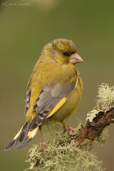Most Beautiful Birds, Pretty Birds, Love Birds, Small Birds, Little Birds, Colorful Birds, Greenfinch, Common Birds, Animals And Pets