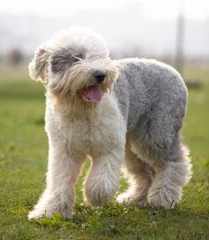 Old English Sheepdog | Best Farm Dog Breeds | PawNation
