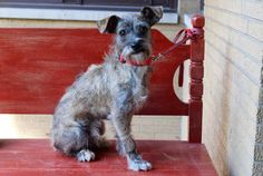 Boy is Argo a cutie. He's unique looking, he may be a mix of Schnauzer and some sort of Terrier. Whatever he is, he's 100% adorable. Argo gets along with dogs and kids. He's a young boy around 1 year of age and weighs about 12 pounds. He's playful,...