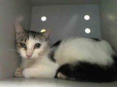 TO BE DESTROYED 8/19/14 ** MAZZY IS NOT FEELING WELL- SHE HAS A HEALING ABSCESS. SHE'S ALSO A MOMMY TO 4 KITTENS! WHO CAN BLAME HER FOR BEING UPSET IN THE SHELTER? Please pledge, foster or adopt Mazzy and 4 her babies now ** Manhattan Center  My name is MAZZY. My Animal ID # is A1010435. I am a female white and black domestic sh mix. The shelter thinks I am about 3 YEARS old.  I came in the shelter as a STRAY on 08/13/2014 from NY 11419, Group/Litter #K14-190070.