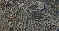 Ağaçlar adeta beyaz gelinliğini giydi -                                         Ağaçlar adeta beyaz gelinliğini giydi                                   Sivas'ta soğuk havanın etkisiyle ağaçlarda oluşan kırağı kartpostallık görüntüler oluşturdu.                             Soğuk havanın etkisini sürdürdüğü Sivas'ta sabah saatlerinde ağaç  -  - Tıklayın: http://yerelturkiye.com/kultur-sanat/70130-agaclar-adeta-beyaz-gelinligini-giydi.html