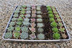 "2"" Rosette Only Succulents bulk wholesale wedding Favor gifts at the succulent source - 1"