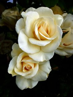 White roses with gardenias My Flower, Pretty Flowers, White Flowers, Red Roses, Ivory Roses, Blush Roses, Yellow Roses, Bloom, Black And White Roses