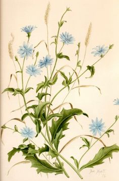 chickory images - Google Search