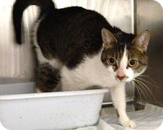 Elkton, MD - Domestic Shorthair. Meet Nimue a Cat for Adoption.