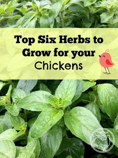 Top Six Herbs to Grow for Chickens - The Cape Coop