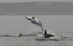 https://flic.kr/p/B3Ptst | delfines oscuros 9 | Delfin oscuro  - Dusky dolphin  Lagenorhynchus obscurus in front of the city of Puerto Madryn