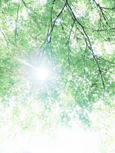 https://flic.kr/p/7Y9tuE | ao momiji | 花が散り、夏が来るまでのひととき。  それを知りながら、そよ風にサラサラと揺れている「あおもみじ」。  「ホーホケキョ」の掛け合いがとっても上手になった鴬たちのさえずりが気持ちがいい。