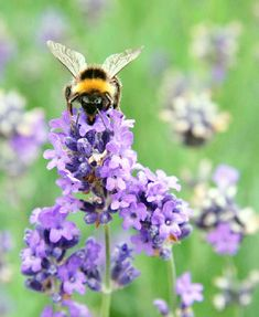 Why You Could Die of a Bee Sting–Even If You've Never Been Allergic    by James Hubbard, M.D., M.P.H.