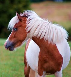 Image detail for -Miniature Horse Picture of Miniature Horse