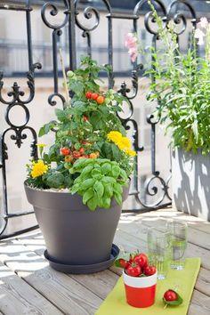 Apprenez faire germer p pins et noyau de fruits pour les - Comment planter des poivrons ...