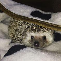 sullivan the hedgehog @sullivanthehedgehog on Instagram!     i love my hedgemom's minnie mouse blanket  comfy cozy