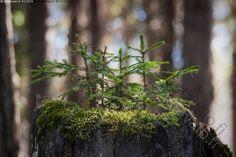 Kuuset kannolla - kuusi kuuset pieni taimi kuusentaimi taimet puu puut kasvi kasvit metsäkuusi näre Picea abies havupuu kanto kannolla sammal kasvaa luonto