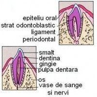 dezvoltarea_sistemului_dentar Medicine