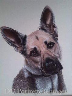 """German shepherd"" realistic portrait drawing made with pastelpencils"