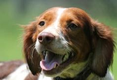 Copper is an adoptable Brittany Spaniel Dog in West Greenwich, RI. Meet Copper! Copper is a stunning full blooded(or pretty close to it) Brittany Spaniel. He is three years old (as of 7/19/12). He is ...