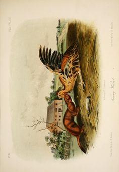 The quadrupeds of North America v.3  New York,V.G. Audubon,1851-54.  Biodiversitylibrary. Biodivlibrary. BHL. Biodiversity Heritage Library