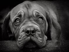 dog de bordoux  puppy by Svetlana Spirina on 500px
