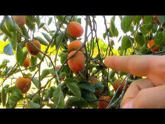 Hachiya Persimmon Orchard http://www.tytyga.com/Hachiya-Persimmon-Tree-p/hachiya-persimmon-tree.htm