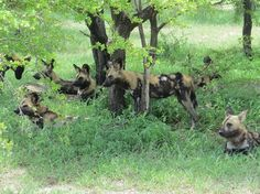 Selous Game Reserve is Africa's largest protected wildlife reserve and covers more than 5% of Tanzania's total area. Wild dogs are the special attraction of it. http://www.globalwidesafaris.com/selous-game-reserve/