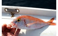 Λυθρίνι, ο άρχοντας της τραγάνας - psarema-skafos.gr Pets, Fishing, Animals, Animales, Animaux, Animal, Animais, Peaches, Pisces