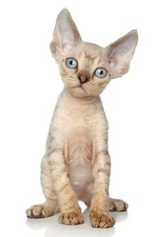 5 Adorable and Hypoallergenic Cat Breeds Cute Funny Animals, Funny Cats, Hypoallergenic Cats, Devon Rex Cats, Cornish Rex Cat, Kawaii, Cute Animal Pictures, Beautiful Cats, Cat Breeds