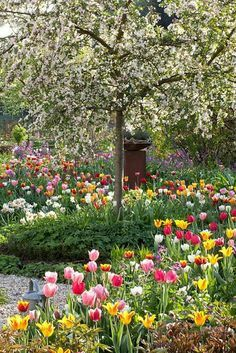 Cherry tree and mixed tulips