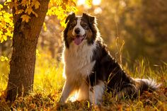 Enjoying the autumn sun - Wallace (Australian Shepherd, BlackTri)