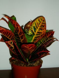 house plants | The Croton Plant is becoming a very popular indoor house plant for its ...