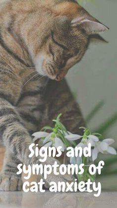 If your cat seems to be showing signs of separation anxiety, here are some things you can do: Kittens Cutest, Cats And Kittens, Cute Cats, Funny Cats, Anxiety Cat, Cat Care Tips, Cat Health, Health Tips, Separation Anxiety