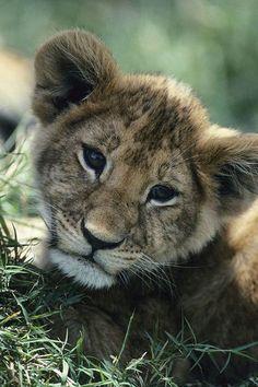 ** Lion cub