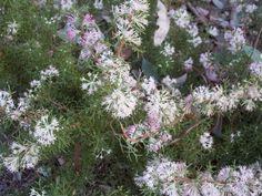 Hakea lissocarpha (Honeybush) - Mallee Native Plants sun/part shade, well drained soils, frost tolerant African Plants, Small Shrubs, Flowering Trees, Native Plants, What Is Love, Wild Flowers, Nativity, Orchids, Flora