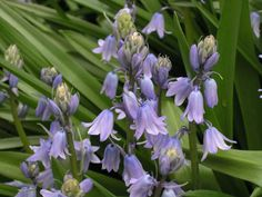 Bulbs: Hyacinthoides hispanica 'Excelsior' (Spanish bluebell) ~ Plant of Merit. One of the best late spring flowering perennial bulbs. 10-to 12-inch spikes of blue-lavender flowers arise in profusion from rosettes of glossy green leaves. For sun or shade, ideally in moist, organic soils. Animal resistant.