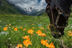 Spring mountain poppies in Ossetia, Russia