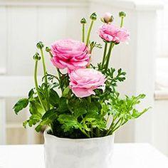 #rosa #Blumen #Blumentopf #Erde #Muttertag #Valentinstag #Geschenkidee Plants, Hot Pink Flowers, Cut Flowers, Earth, Mother's Day, Valantine Day, Flora, Plant