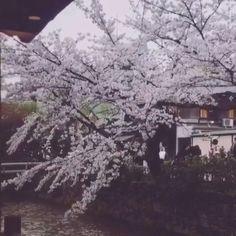 #kyoto #gion #shirakawa #hanami #sakura #kaiseki #cherryblossom by kaitlyn_fanfan