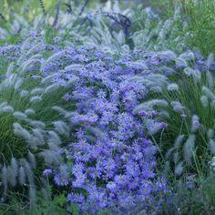 l'Aster × frikartii 'Mönch', precoce e coloratissimo, per averlo fiorito già in piena estate da abbinare magari ad un Pennisetum Tall Tails