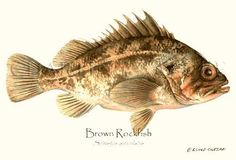 'Brown Rockfish' giclee print by Brenda Guild Gillespie via Charting Nature http://www.chartingnature.com/fish-print.cfm/Brown-Rockfish-fish-illustration-print/3010