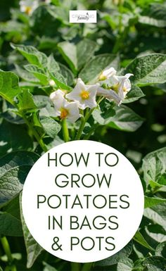 A step-by-step guide to growing your own potatoes in bags or containers. Includes advice on potato varieties, planting instructions and harvesting tips. #growyourown #gardeningtips #growingfamily