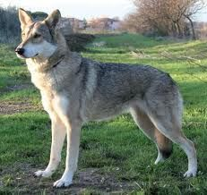 Saarloos Wolfhound- my husband has been talking about getting one of these for years. Pet Dogs, Dogs And Puppies, Doggies, Wolf Poses, Czechoslovakian Wolfdog, Rare Dog Breeds, Dog List, Snow Dogs, Animal Drawings