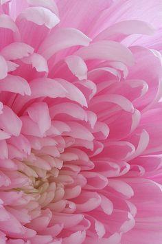 #pink #flower #petals #color #photography