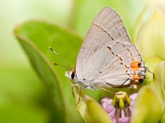 """Spider Milkweed (Asclepias viridis) is the """"welcome home milkweed"""" for monarchs migrating north from Mexico. Other butterflies, like this hairstreak, enjoy sipping nectar from its flowers."""