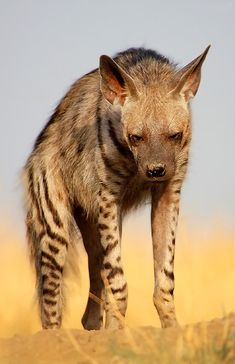 The striped hyena (Hyaena hyaena) is a species of true hyena native to North and East Africa, the Middle East, the Caucasus, Central Asia and the Indian Subcontinent. It is the smallest of the true hyenas and retains many primitive viverrid characteristics lost in larger species, having a smaller and less specialised skull. Though primarily a scavenger, large specimens have been known to kill their own prey, and attacks on humans have occurred on rare instances.