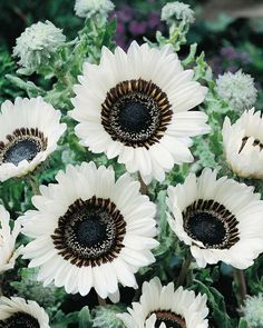 500 Seeds White Monarch Veldt Cape Daisy This is for 500 seeds they are the Cape Daisy. This daisy is a annual and grows to about tall they like full sun. This can add neat white color to your landscape every year have nice white flowers on them. Black Flowers, Unique Flowers, Cut Flowers, Beautiful Flowers, Gothic Flowers, Daisy Flowers, Bright Flowers, Growing Flowers, Fresh Flowers