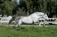 Granito.. one of the world's best Andalusion Stallions.  Stunning!