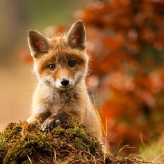 Cute Baby Fox by Adamec ~ awwww Such a sweet face