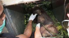"""""""O GRITO DO BICHO"""": Mãe orangotango e filhote são salvos após apedreja..."""