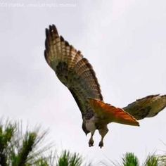 Redtail Hawk in flight