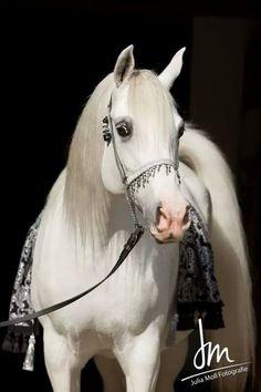 Spanish Arabian horse - photo by Julia Moll Fotografie , Austria