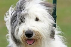 Best Dog Hair Grooming Clippers For An Old English Sheepdog